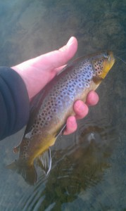 Whitewater Brown Trout Winter 2012